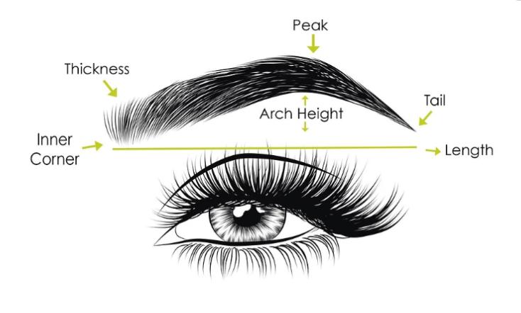 anatomy of the brow -BeautyinVA Diana DAngelo